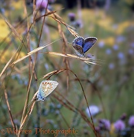 Common Blues at sunrise