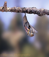 Painted Lady hatch - pupa splits
