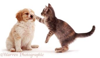 Kitten batting puppy in the face