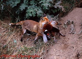 Fox carrying pheasant