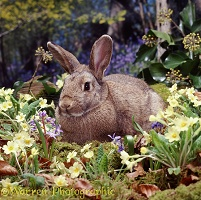 Rabbit among primroses
