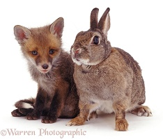 Rabbit and fox cub