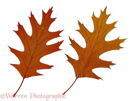 Autumnal oak leaves