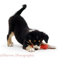 Border Collie puppy with toy