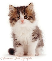 Brown Tabby-and-white kitten