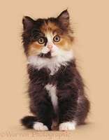 Calico Persian-cross kitten