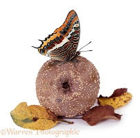 Two-tailed Pasha on rotten apple