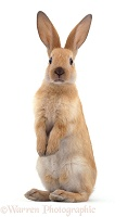 Young Sooty Fawn Rabbit standing up