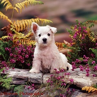 Westie pup among heather