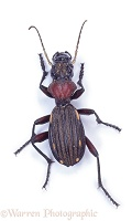 Diurnal ground beetle
