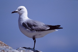 Grey-headed Gull on one leg