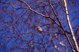 Robin singing in winter