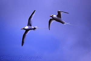 Tropic birds in flight