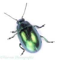Mint Beetle