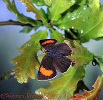 Brown Hairstreak Butterfly basking
