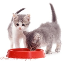 Two kittens eating from a plastic bowl