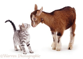 Silver kitten and goat