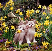 Kittens among Daffodils