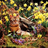 Bengal cat among Daffodils