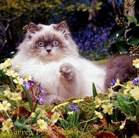 Longhaired kitten among woodland flowers