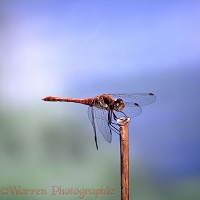 Common Darter Dragonfly sunning