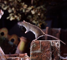 Brown Rat standing