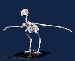 Bird of prey skeleton