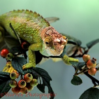 Johnson's Chameleon