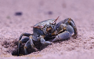 Sand crab cleaning eyes
