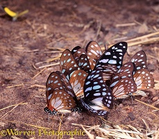 Butterflies at salt-lick