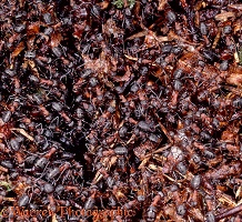 Wood Ants packed on nest