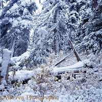 Snow subalpine forest