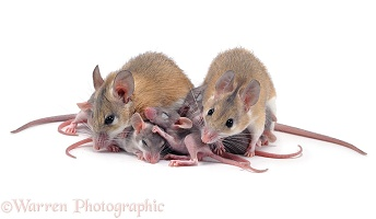 Spiny mice with babies