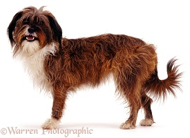 Tibetan Terrier-cross