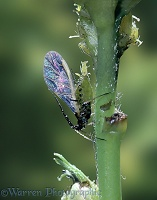 Winged aphid giving birth