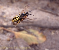Bee-killer wasp with bee