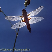 Broad-bodied Chaser Dragonfly silhouette