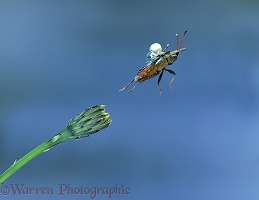 Squash bug in flight