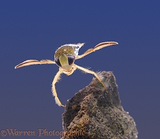 Water boatman on rock