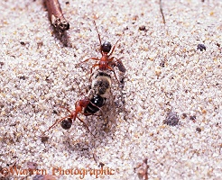Slave-making ants dragging bee