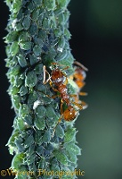 Red ant milking an aphid
