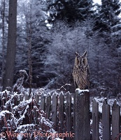 Long-eared Owl on fence