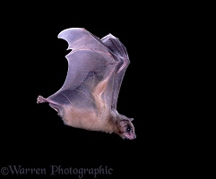 Egyptian Rousette Bat in flight