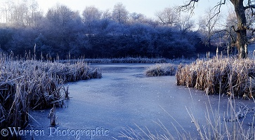 Winter scene with Bull Rushes