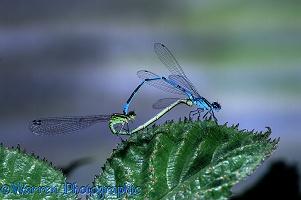 Azure Damselfly pair