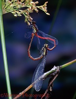 Large Red Damselfly pair