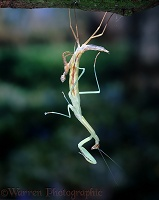 Mantis shedding skin