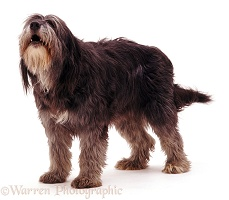 Shaggy lurcher