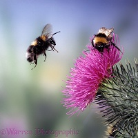 Bumblebee and spear thistle
