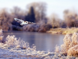 Barn owl over frozen pond 1a